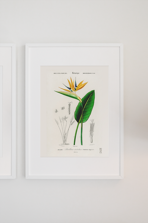 Gravura Botânica - Strelitzia regia