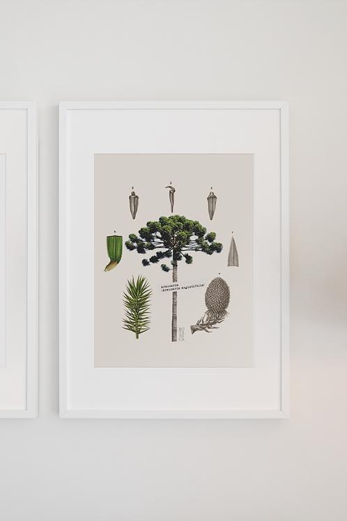Gravura Botânica - Araucária
