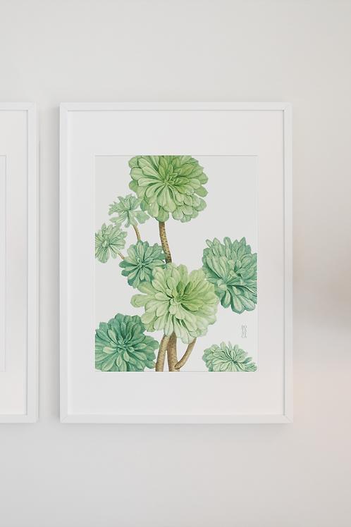 Gravura Botânica - Sempervivum arboreum 2