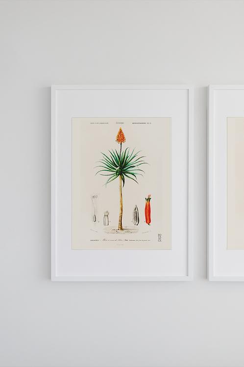 Gravura Botânica - Aloe fruticosa