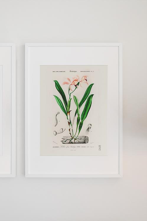 Gravura Botânica - Lelia cattleioides
