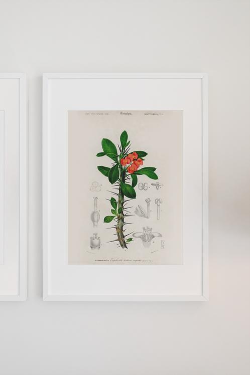 Gravura Botânica - Coroa de Cristo