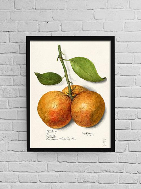 Quadro Citrus Sinensis