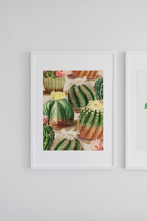 Gravura Botânica - Echinocactus 2