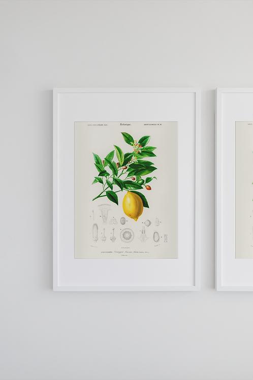 Gravura Botânica - Citrus limonium