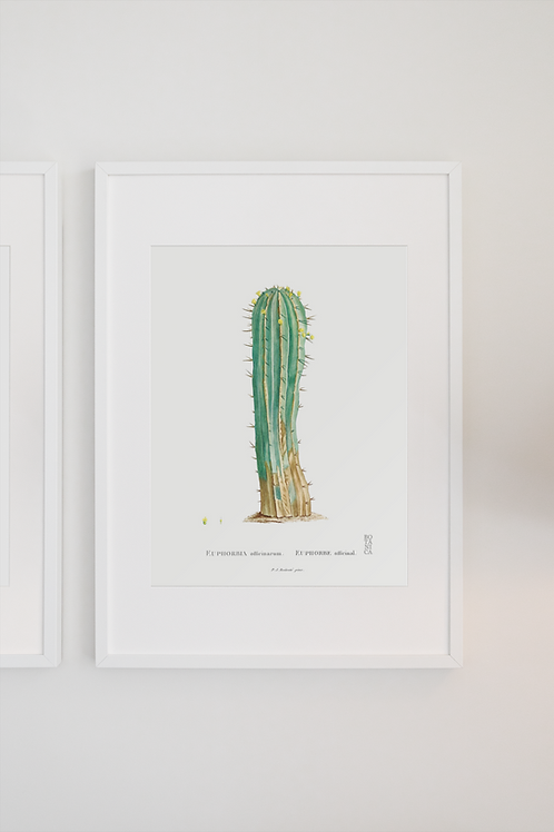Gravura Botânica - Euphorbia officinarum