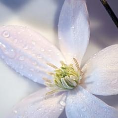 Star of Bethlehem flower 2