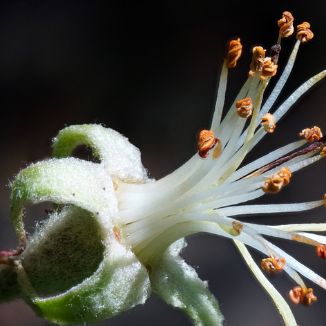 An apple tree flower without petals