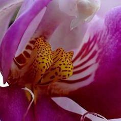 Orchid Phalaenopsis extreme close-up.jpg