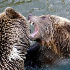 Bears fight