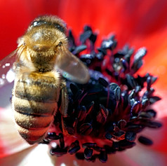 Bee pollinating a red flower