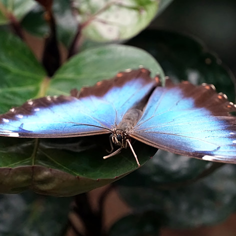 Morpho Peleides butterfly 4.jpg