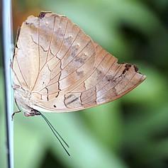 One-spotted Prepona, Archaeoprepona demo