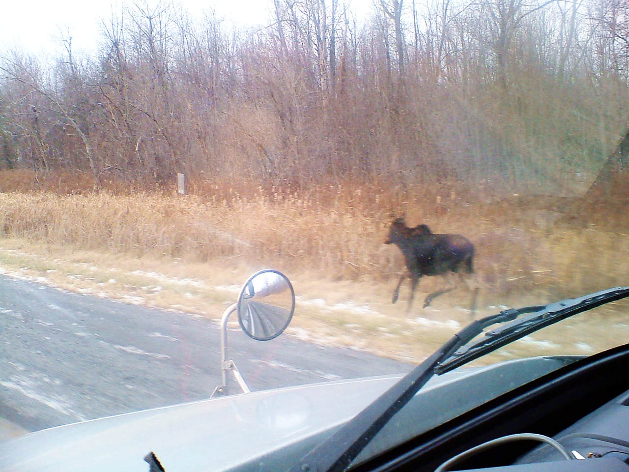Hungry moose looking for food near highway A2 in New Brunswick.