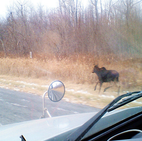 Young moose near the highway in NB, CAD
