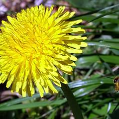 Bee flying towards Dandelion