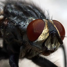 House fly extreme close-up