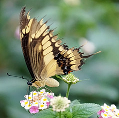 Papilio Cresphontes butterfly 6.jpg