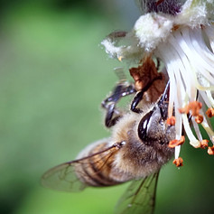 Bee pollinating an apple tree flower
