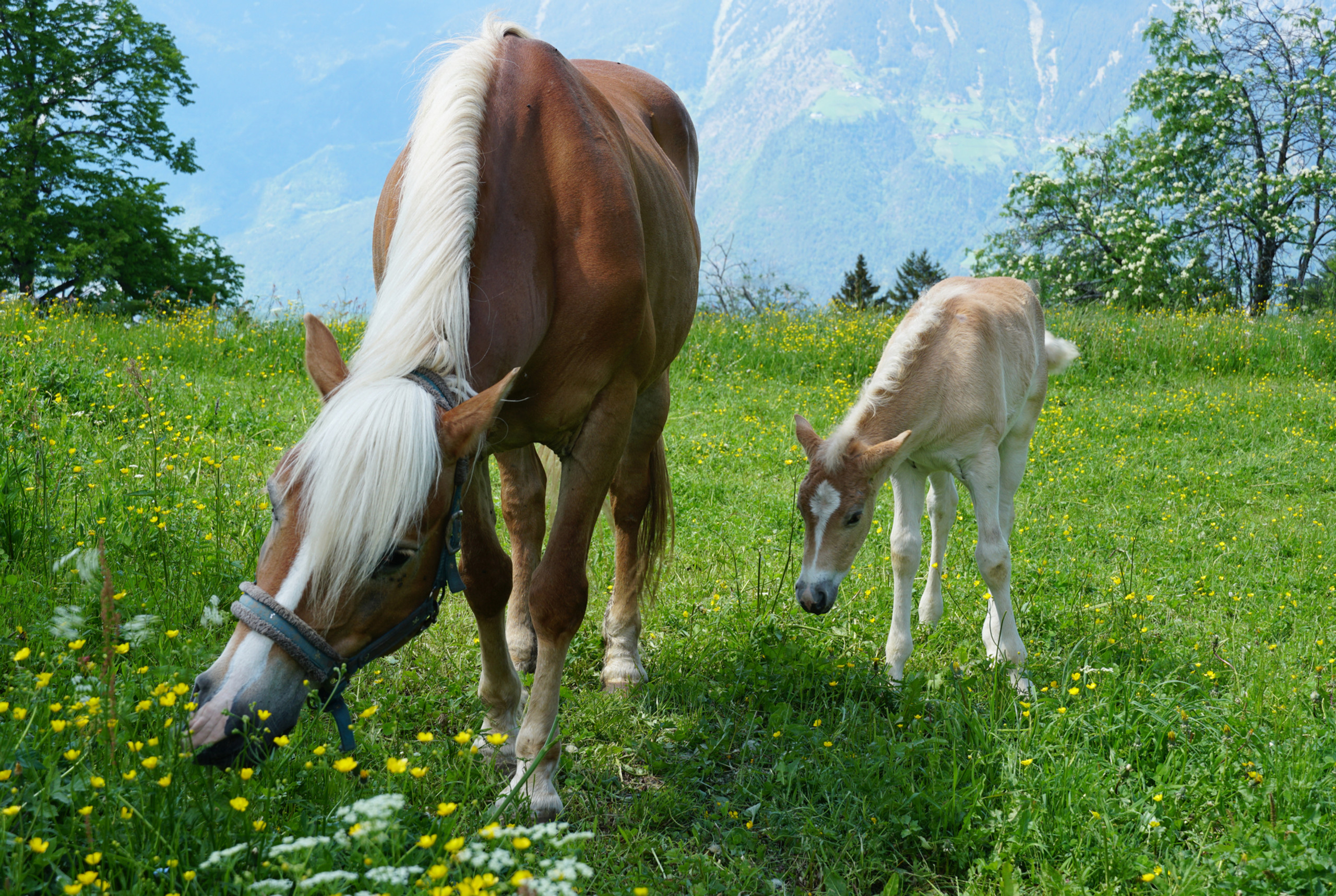 Haflinger mare with a foal. The most beautiful creatures on the planet, along with sharks!