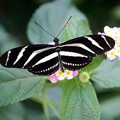 Zebra Longwing Heliconius charithonia bu
