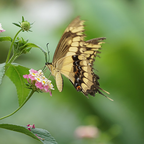Papilio Cresphontes butterfly 4.jpg
