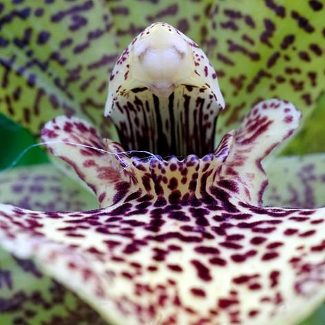Orchid Colmanara Andrea extreme close-up.jpg