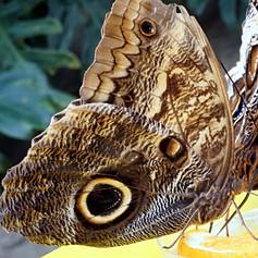 Morpho Peleides butterfly couple.jpg