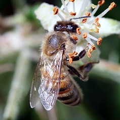 Bee pollinating an apple blossom