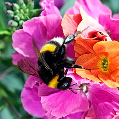 Bumblebee pollinating a red flower
