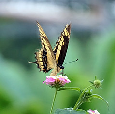 Papilio Cresphontes butterfly 111.jpg