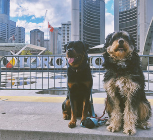 Dogs posing in front of 3D Toronto sign while dog walking