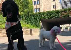 Yorkville dog walkers