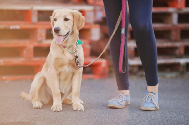Golden Dog Downtown Toronto Dog Walker