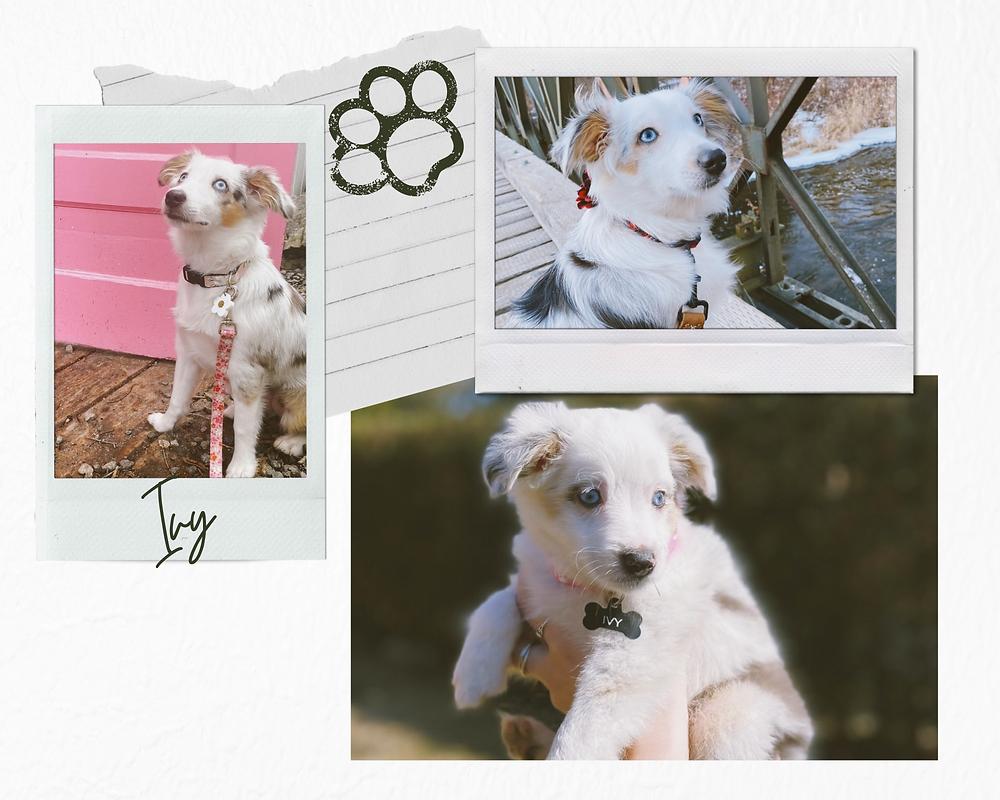 Austrailian Shepherd Puppy