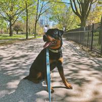 Tyson the Rottweiler dog walking in Queen West