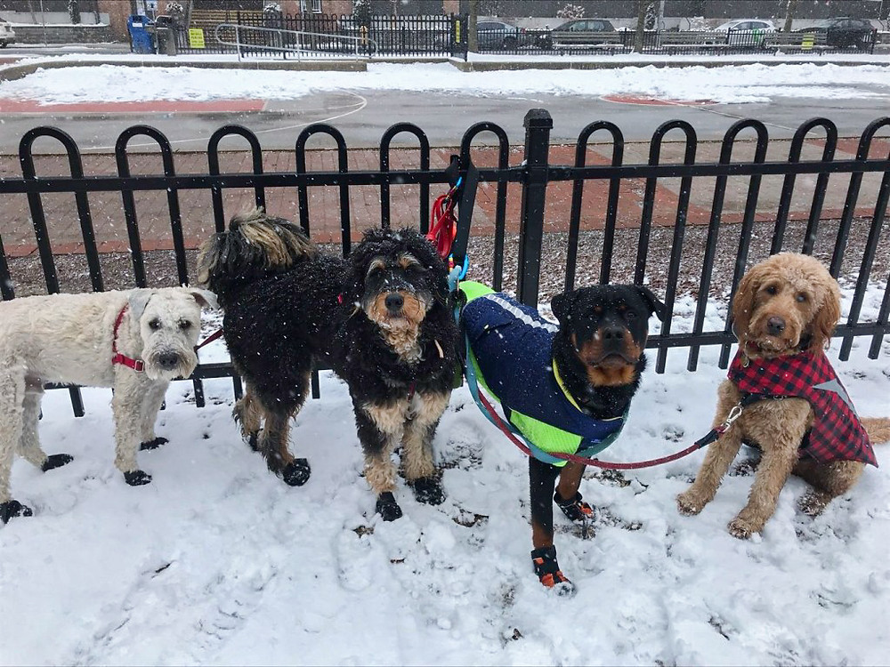 a group of dogs walking in toronto