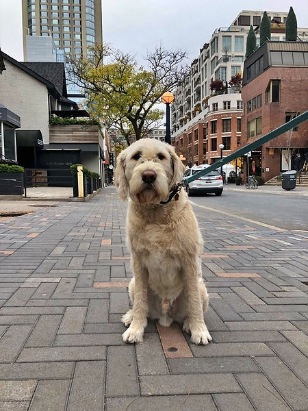 Dog walking Yorkville