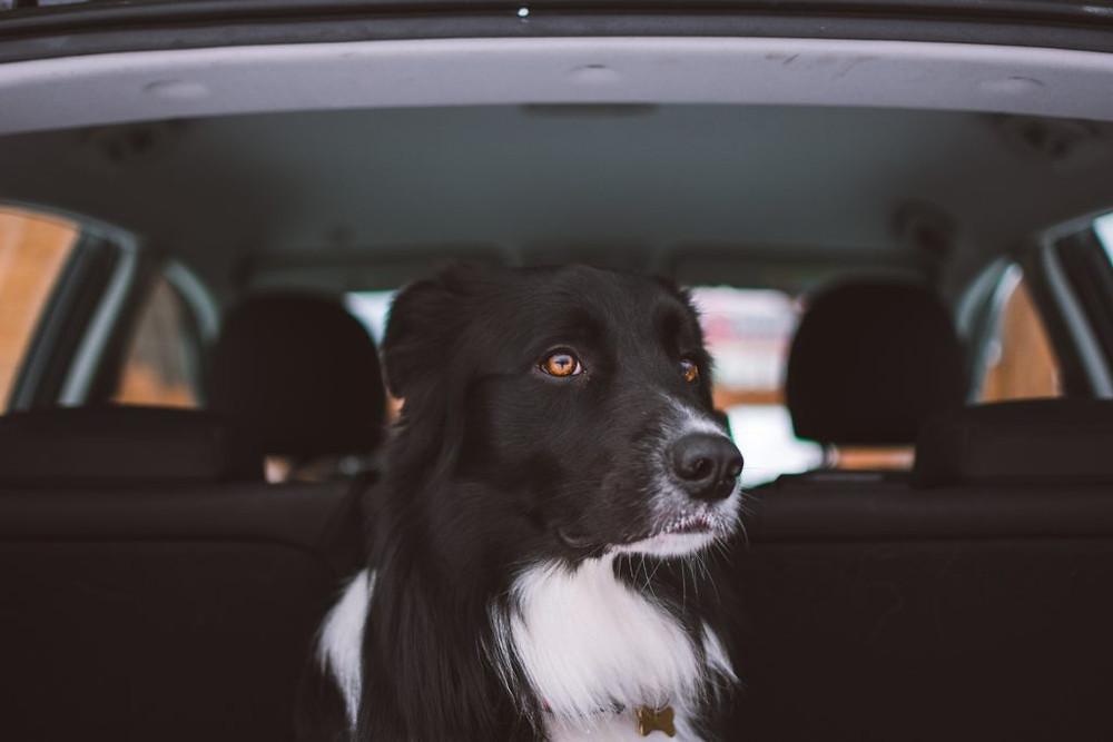 Dog Taxi Toronto