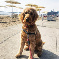 Beach babe Rosie dog walking on the Toronto Harbourfront