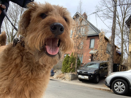 Welcome Dudley to Yorkville Dog Walking