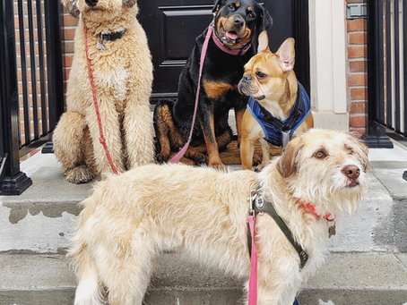 "What does it mean to be a ""Professional"" Dog Walker in Toronto?"