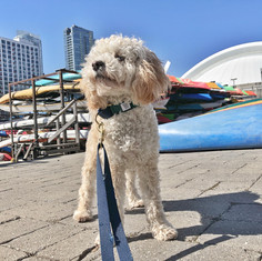 Chewy dog walking on Harbourfront