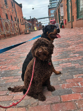 Thor and Tyson dog walking in the Distillery Distric
