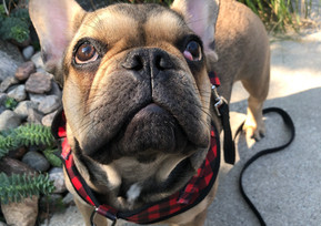 Frenchie in Rosedale
