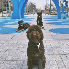 Thor and his 2 Rottweiler friends in Corktown