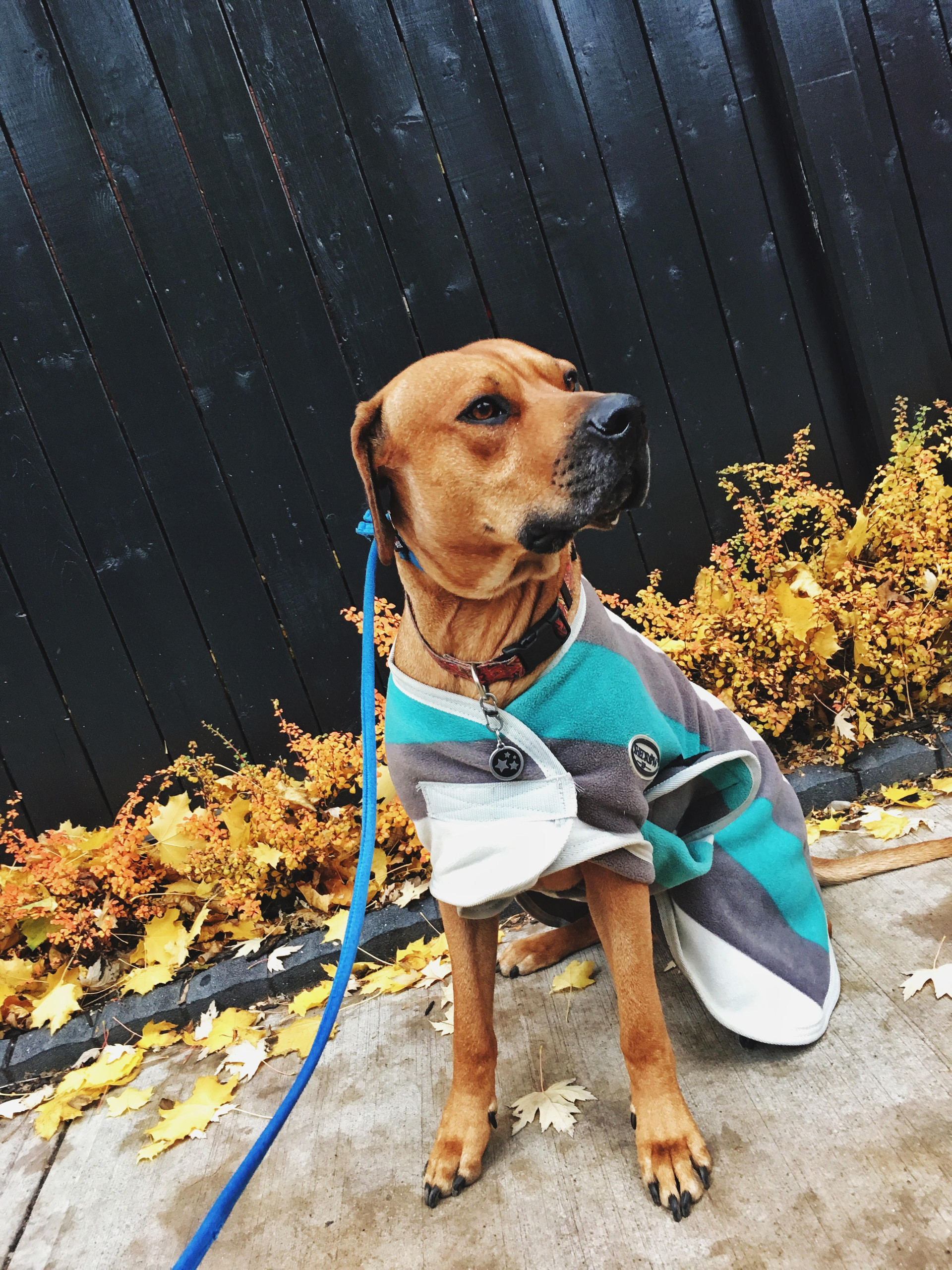 Remi with his King West dog walker