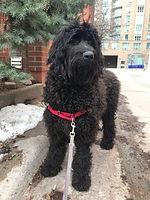 Harley enjoying her downtown Toronto dog