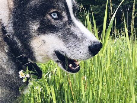 Toronto dog walkers investigating why dogs eat grass?