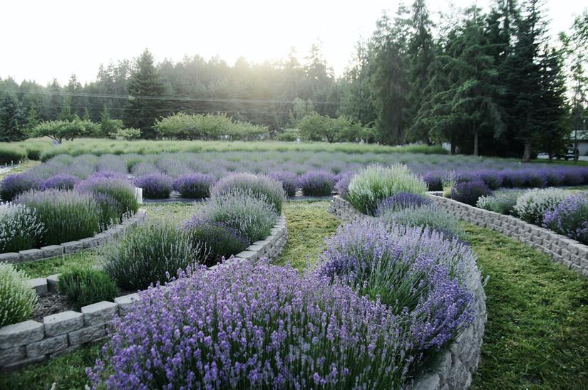 100 Varities of Lavender